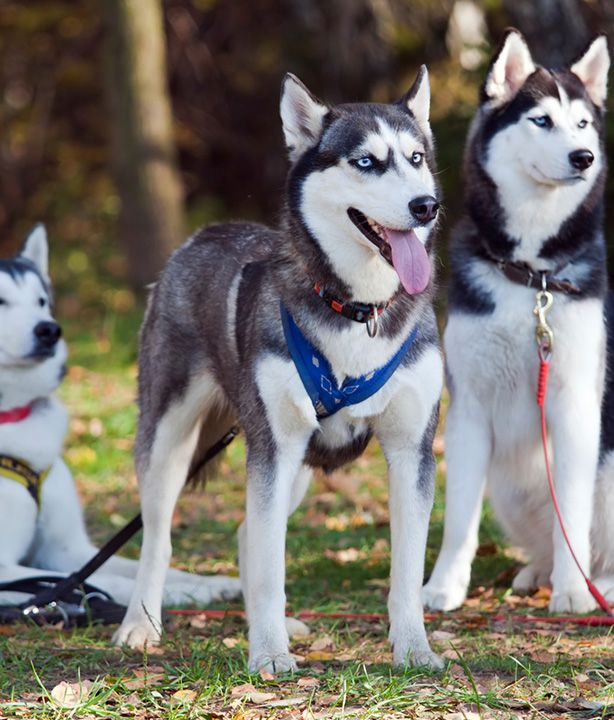 All About Siberian Huskies Complete Pet Owners Manual Kerry Kern