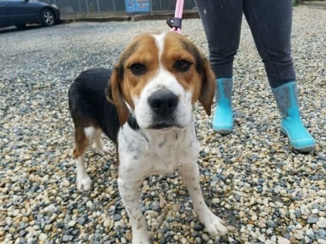 Haskell is an adoptable Beagle searching for a forever family near Prince Frederick, MD. Use Petfinder to find adoptable pets in your area.