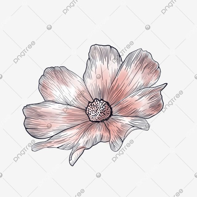 Beautiful Watercolor Cosmos Flower Watercolor Beautiful Blossom Png Transparent Clipart Image And Psd File For Free Download In 2020 Geometric Tattoo Arm Blossom Flower Cherry Blossom Tattoo
