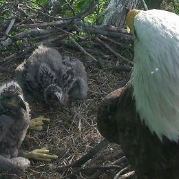 DC Eagle Cam • LIVE Bald Eagle Nest Cam, photo 2
