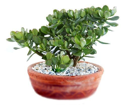 Planta de jade- es excelente para activar la prosperidad en nuestros negocios y hogares. Feng Shui