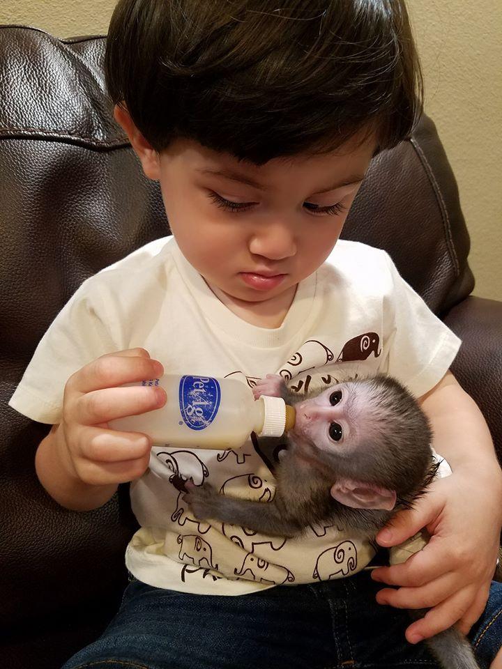CAPUCHIN MONKEYS FOR SALE in 2020 Baby monkey pet, Cute