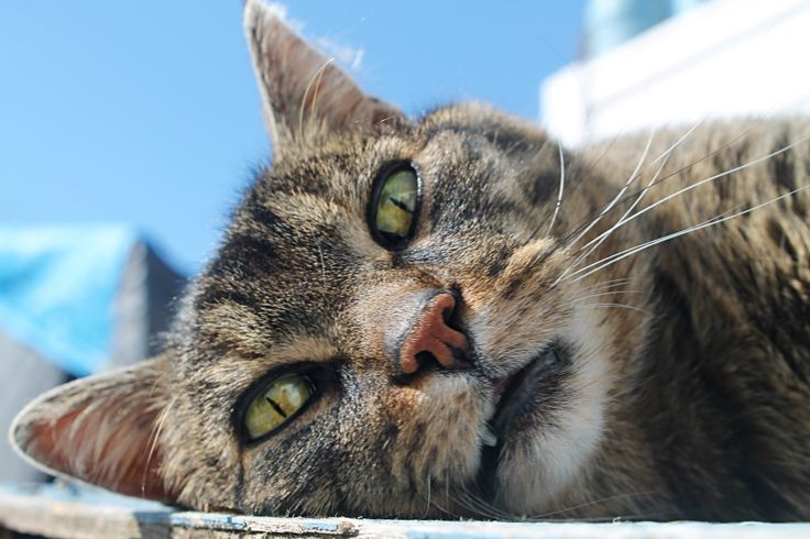 Stripes #cat