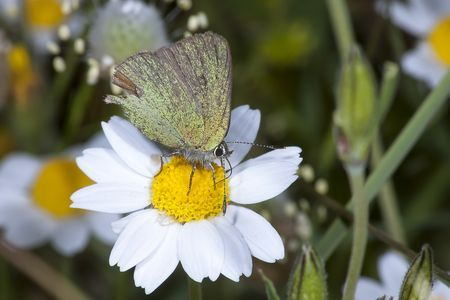 Callophrys rubi Photo by NIKOS T. -- National Geographic Your Shot
