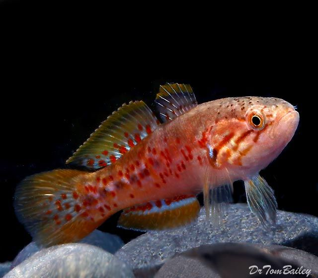 46 best images about gobies gudgeons on pinterest neon for Freshwater goby fish