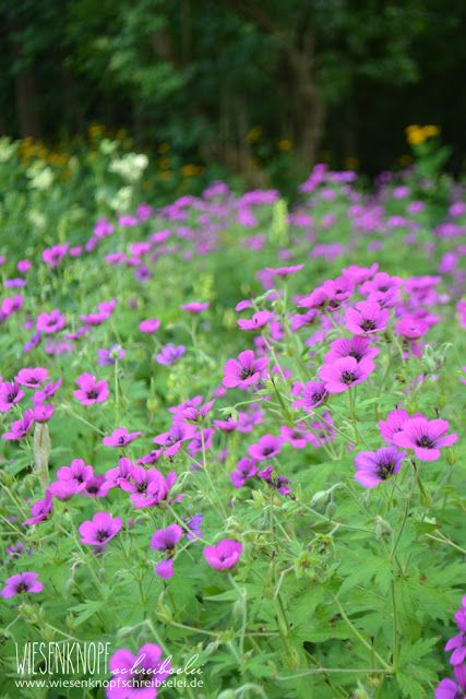 Armenischer Storchschnabel (Geranium psilostemon) Wo: Botanischer Garten Augsburg