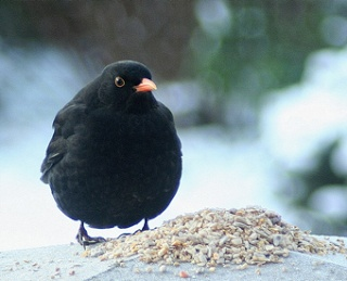 Real Black Bird Angry Birds