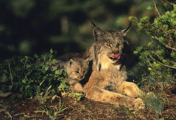 Canada Lynx: The Canada Lynx is specially adapted to hunting in snow. Without it, the Canada lynx can't hunt snowshoe hares, its primary prey. Deep snow typically excludes the lynx's main competitors — coyotes and bobcats — and its predator, the mountain lion, from its winter habitat. Less snow cover could mean more competition and predation from other carnivores.