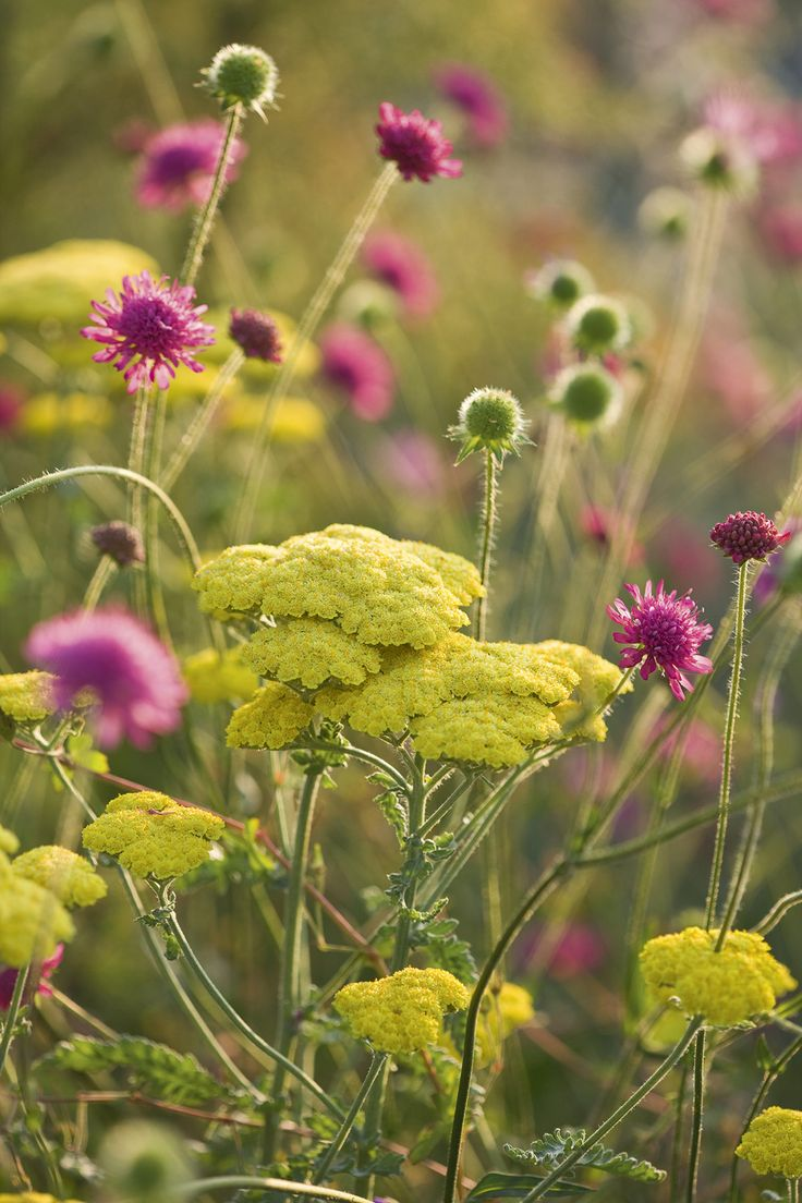 Achillea and Knautia