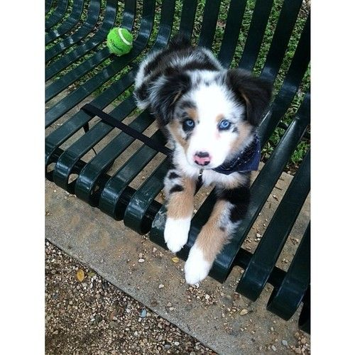 jae51:  I got out of work early and brought Bentley to the park #AussieShepherd (at Pease District Park)