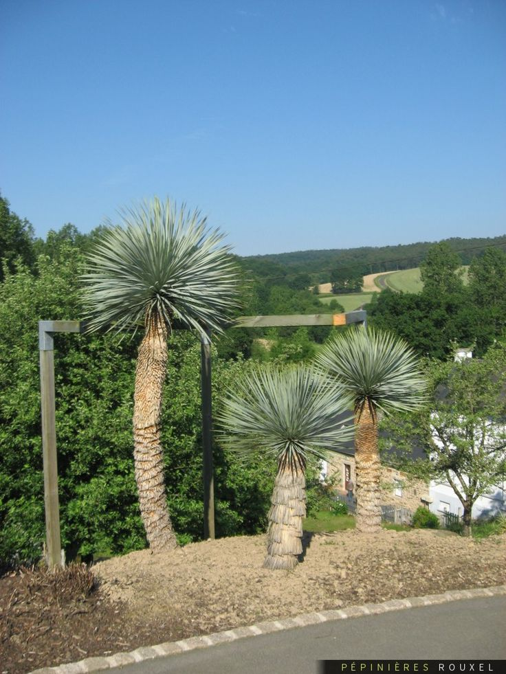 Yucca rostrata p pini res rouxel pinterest for Bouture yucca exterieur