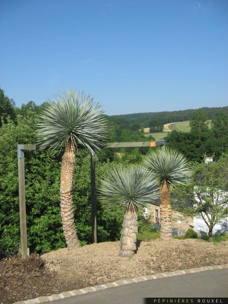 Yucca rostrata — Pépinières Rouxel