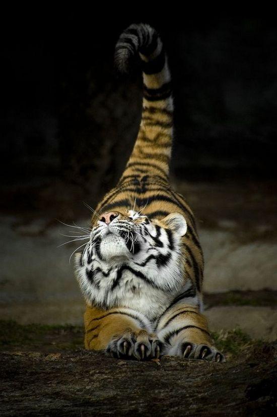 vous n'avez jamais vu un tigre  faire ses étirements: ?