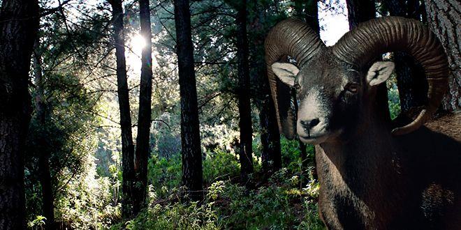 La época de celo de los muflones abarca desde finales de octubre hasta diciembre. Durante la primavera y el verano las hembras