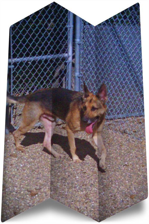 Going To Buy German Shepherd Rescue Ohio White German Shepherd Rescue German Shepherd Dogs Shepherd Dog German Shepherd