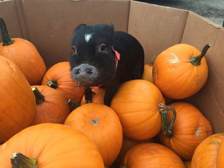 adorable little black pig and fall pumpkins