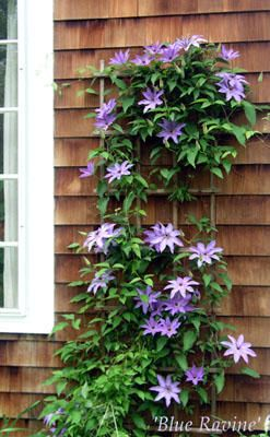 1000 Images About Clematis And Trellis On Pinterest