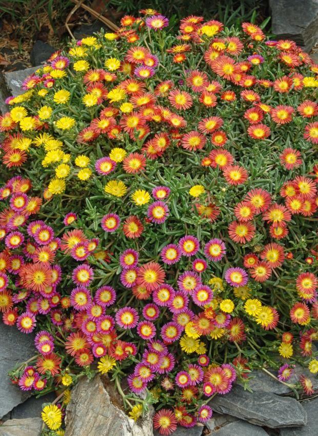Blüten der Mittagsblume