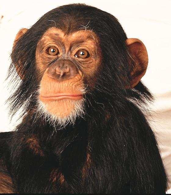 animals: wild animals: Wild Animal, Animal Pictures, Animal Collection, Animal Crackers, Baby Animal, Animal Friends, Wild Pet, Baby Chimp, Monkey Scrape