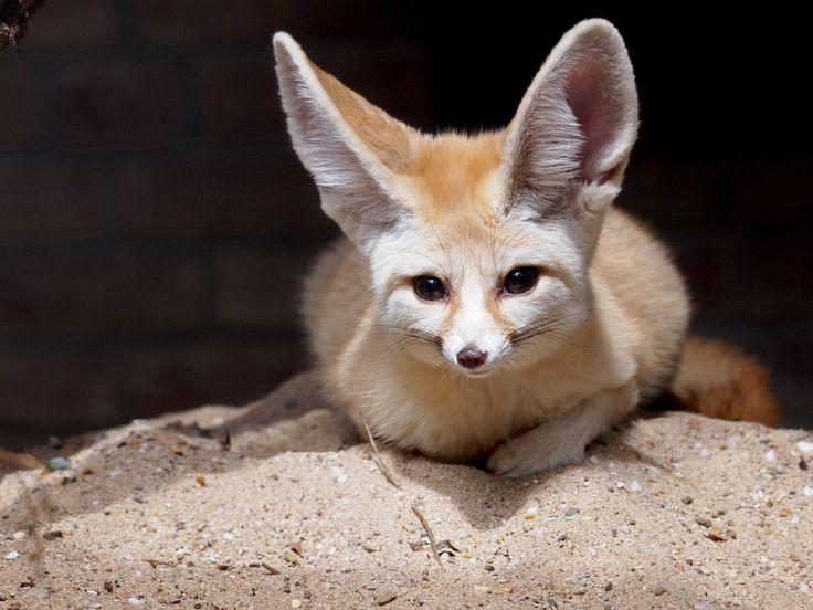 Mooiste dieren gespot op je vakantie: woestijnvos #vakantie #dieren #woestijnvos