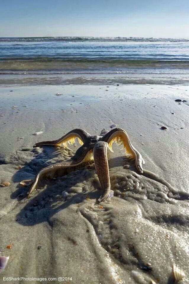 Anyone ever seen a starfish walking back to the water? Flagler Beach.