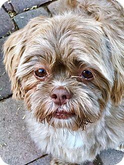 Phoenix, AZ - Shih Tzu. Meet Dahlia, a dog for adoption. http://www.adoptapet.com/pet/17205736-phoenix-arizona-shih-tzu