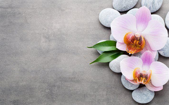 Scarica sfondi rosa, orchidee, fiori tropicali, pietre, orchidea