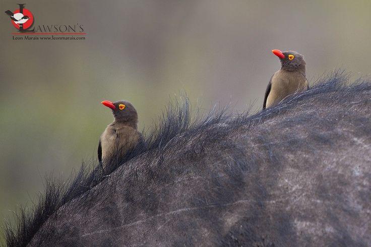 Red-billed Oxpeckers, Kruger