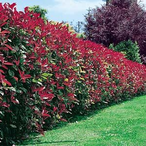 Photinia fraseri - little red robin. Full sun or partial shade. Fertile, well-drained neutral to alkaline soil. Evergreen, with red young growth, 30-60cm per year.  Small white flowers, April and May. Frost hardy.