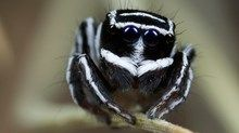Australian spiders: the 10 most dangerous - Australian Geographic
