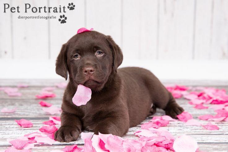 Hondenfotograaf Hillegom - Nestfotoshoot voor Labrador retriever pups-21