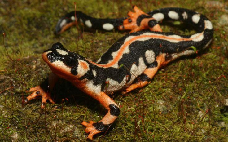 Salamandra-imperador-pintada, natural do Irã, que é ameaçada pelo comércio ilegal de animais. Foto: R D Bartlett