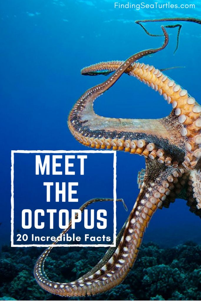 Sealife Spotlight: 20 Octopus Facts You Didn't Know #octopus #ocean life #sealife