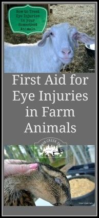 First aid for eye injuries in farm animals.