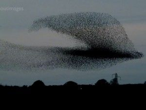 "Starling murmurations create fantastic show in Scottish sky--- TO VIEW AWESOME VIDEO: CLICK ON "" Visit GrindTV.com"", (just below picture), then on Grindtv page, SCROLL DOWN page TO VIDEO"