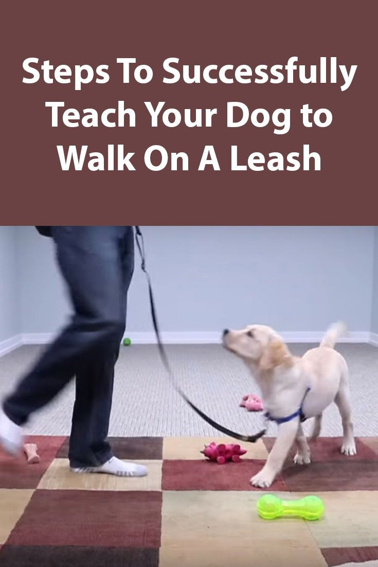 Teaching Your Puppy To Walk On A Leash Dog Training Dog