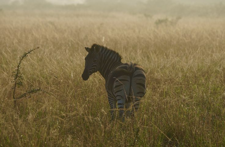 https://flic.kr/p/CGX3wd | Waiting for her companions..... | early morning in Kwazulu Natal, South Africa plains zebra or common zebra; equus quagga ( formerly known as equus burchellii ) zebra zèbre des plaines ou zèbre commun Steppenzebra Many thanks for your views, favorites and supportive comments. All rights reserved. ButsF©2017