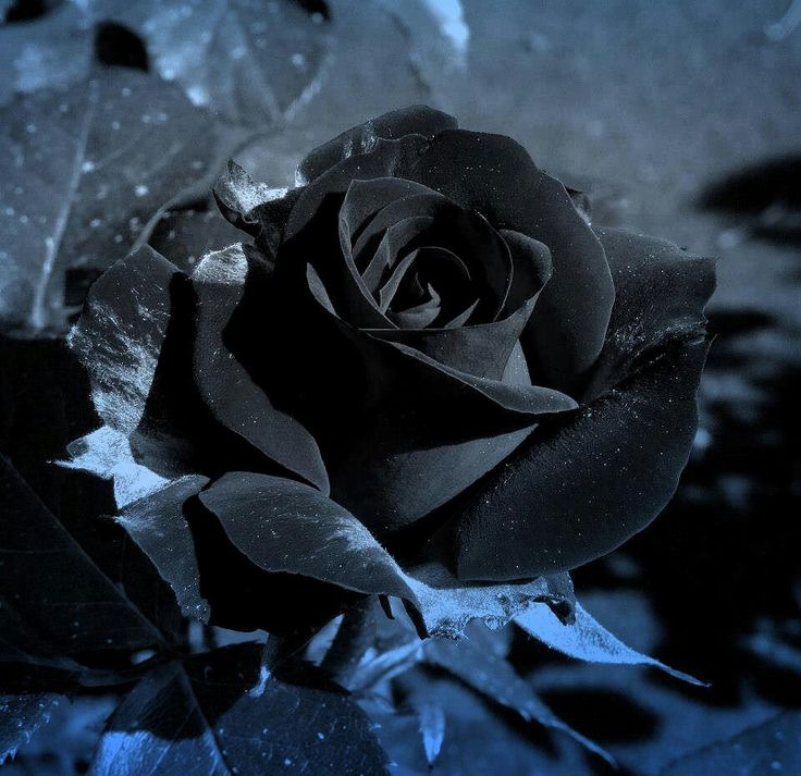 Black roses, Black rose flower and Black rose tattoos on Pinterest