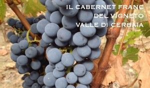 Cabernet Franc, ready for harves in  Valle di Cerbaia, Tuscany