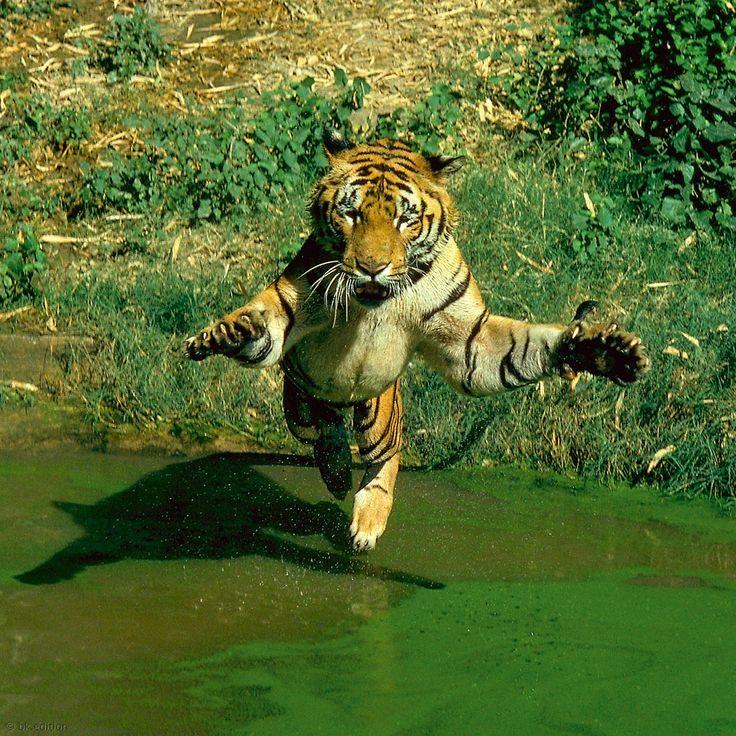 In der tropischen Hitze der Sundarban-Sümpfe in Indien sucht der Bengalische Tiger die Nähe des kühlen Wassers. Anders als etwa Löwen sind Tiger nicht wasserscheu, sondern jagen sogar im nassen Element, in dem sie kilometerweit schwimmen können – Diese Karte hier online kaufen: http://bkurl.de/pkshop-212035 Art.-Nr.: 212035 Nicht wasserscheu | Foto: © George Holton | Text: Rolf Bökemeier