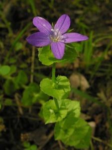 Missouri Wildflowers Venus S Looking Gl Triodanis Perfoliata