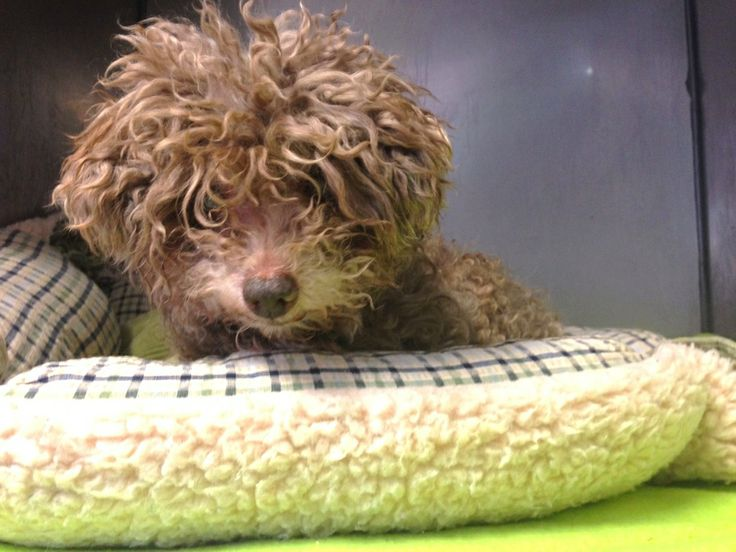 Hi, my name is Curlie, I am a Poodle Mix, and I am a 12 year young male.  Unfortunately, I am unable to to type as I am blind, so I had one of my Little Shelter friends type up my story. I am a senior dog, and when I lost my vision I suddenly found myself in shelter. I walked into the walls trying to figure out where I was and soon figured out I was no longer in my home.   Little Shelter rescued me fortunately and thats how I found myself here. I am very sweet and loved to be helped by…