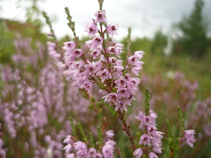 Photo of heather made in the Arkhangelsk Region   ~~~ https://www.etsy.com/shop/FoxberryForest http://anastasia-foxberry.deviantart.com/ http://www.livemaster.ru/foxberry-forest