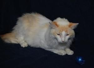 Felina is an adoptable Ragdoll Cat in Sugar Land, TX. BACK TO SCHOOL SPECIAL…CAT & KITTENS- $20.00 (regularly $90.00) Sale price applies through September 30, 2013    Cat and Kitten adoption fee:$90.0...
