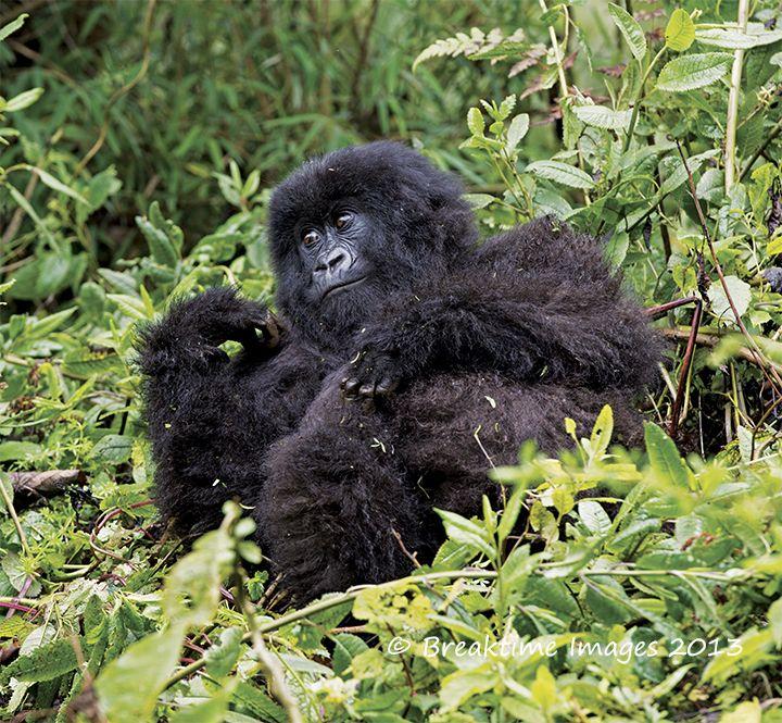 A daydreaming mountain #gorilla
