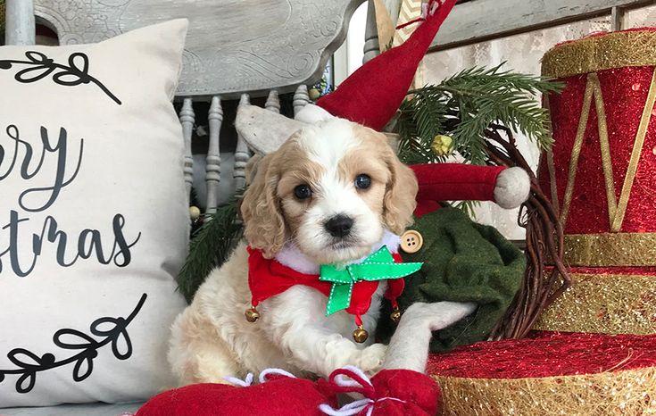Cavapoo Puppies For Sale, Cavapoo Breeders, Dogs, Pups