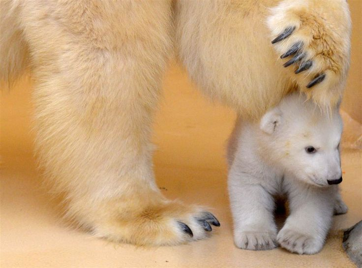 3 months old polar bear cub (Ursus maritimus) emerges from her birth cave for the 1st time, Bremerhaven Zoo, Germany [1216 x 900] (x-post r/...