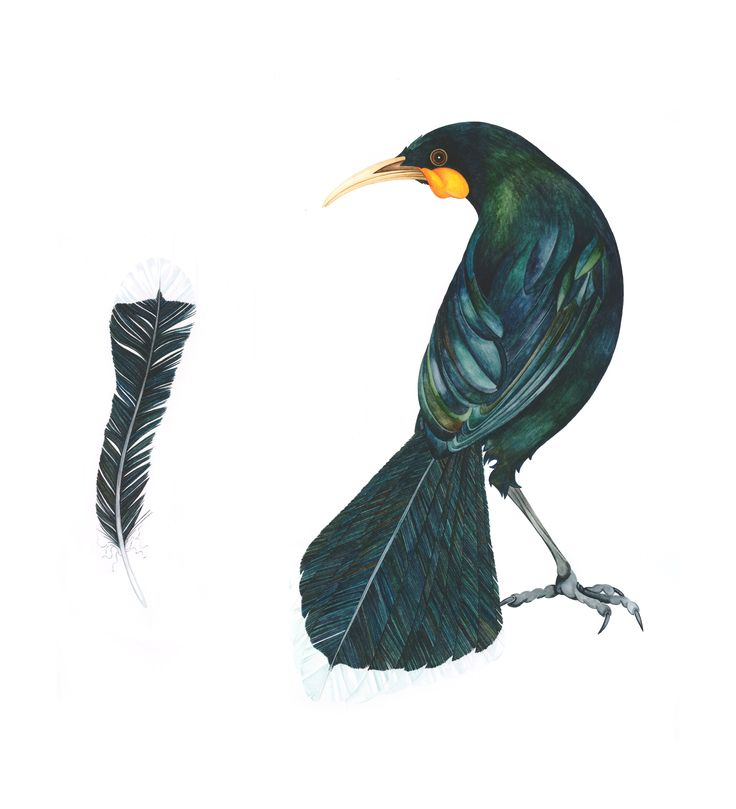 'The Price of a Feather' 2012 ©Helen Taylor (Male Huia/New Zealand)