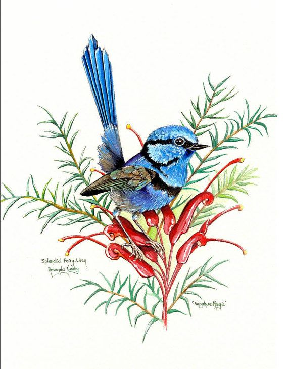 Saphire Magic - Splendid Fairy Wren