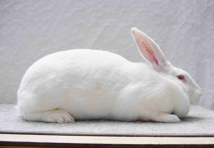 Cuniculture - Photothèque races de lapins originaires de Belgique. Blanc de Termonde